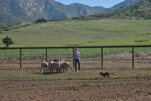 Post image for The San Diego Dog Herding Training Center